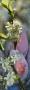 Blühfruchtige Zwetschge